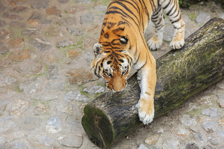 Tiger playing with tree block in zoo on cobblestone road.