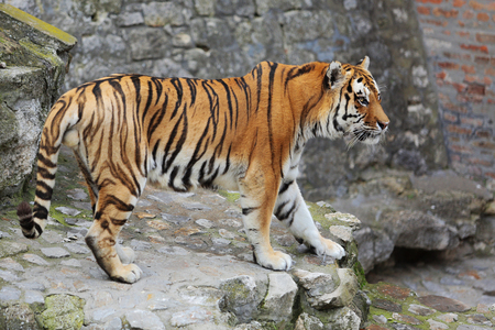 Beautiful tiger walking on cobblestone surface in zoo.