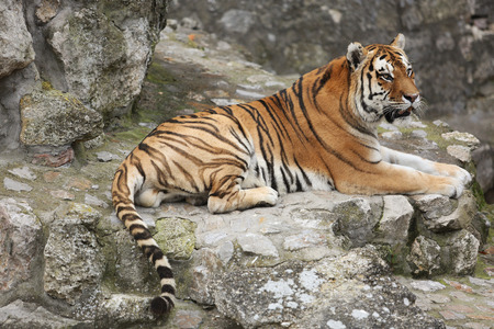 Beautiful tiger sitting on cobblestone surface in zoo. Stok Fotoğraf