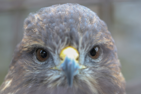 Animal close up portrait of hawk watching towards lens. Stok Fotoğraf