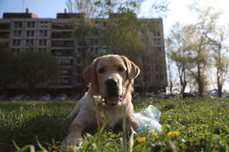 BELGRADE, SERBIA - APRIL 05, 2020: 20 minutes morning walk of pets during curfew. A curfew of 40 hours was imposed in Serbia over the weekend to curb the spread of Corona virus Covid-19. Redakční