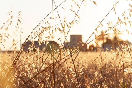 Wheat field at sunset with an unfocused background of traditional Mallorcan architecture. Balearic Islands, Spain