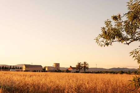 Wheat field at sunset with background of traditional Mallorcan architecture. Balearic Islands, Spain