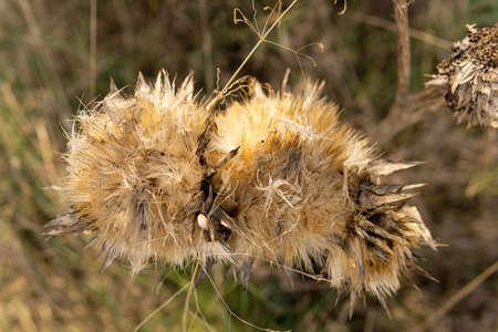 Dried thistle flower (Silybum marinanum) with bokeh effect. Majorca island, Spain