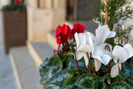 Typical red and white Christmas flowers at the entrance of a building. Background of the image out of focus Stok Fotoğraf - 159272570