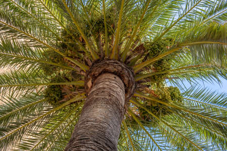 Date palm (Phoenix dactylifera) seen from below. Detail of the trunk, the crown and the fruits (dates) Stok Fotoğraf - 159317931