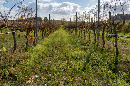Vineyard in autumn on a sunny day. Island of Mallorca Stok Fotoğraf - 159480886