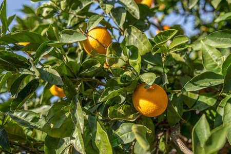 Detail of an orange tree with oranges on its branches on a sunny day. Island of Mallorca, Spain Stok Fotoğraf - 159480162