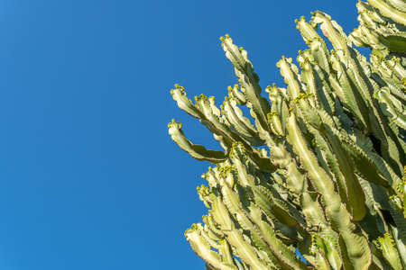 Detail of a very tall cactus with a blue sky background on a sunny day. Copy-space Stok Fotoğraf - 159536596