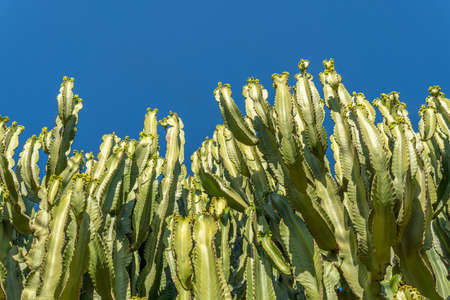 Detail of a very tall cactus with a blue sky background on a sunny day. Copy-space