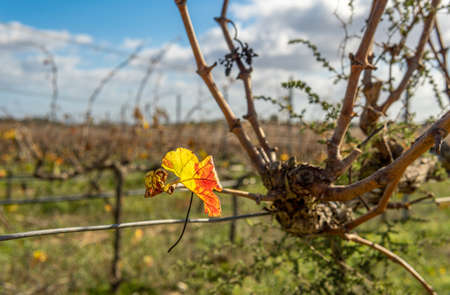 Close-up of an autumn leaf from a vineyard. In the background a field of vines out of focus on a sunny day Stok Fotoğraf - 159691064