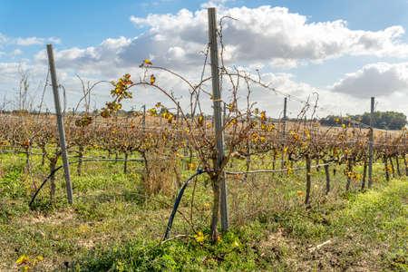 Vineyard in autumn on a sunny day. Island of Mallorca Stok Fotoğraf - 159696211