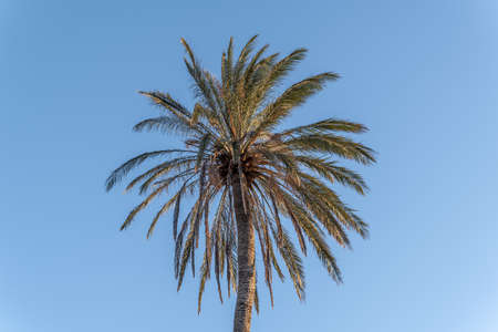 Date palm (Phoenix dactylifera) seen from below. Detail of the trunk, the crown and the fruits (dates) Stok Fotoğraf - 160256717