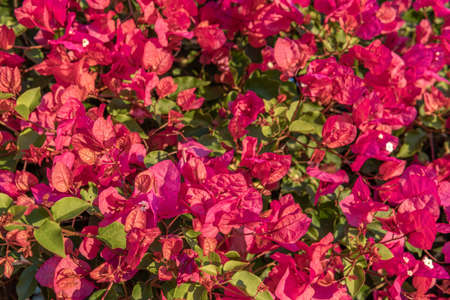 Close-up of the pink flowers of the Mediterranean plant Bougainvillea, Spain Stok Fotoğraf - 160257588