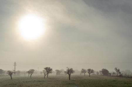 Field of almond trees in a foggy day. Winter landscape
