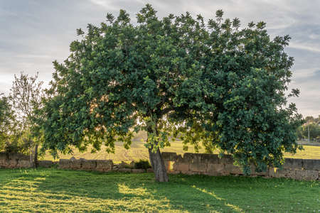 Carob trees in a field on the island of Mallorca at sunset. Balearic Islands, Spain Stok Fotoğraf - 160795615