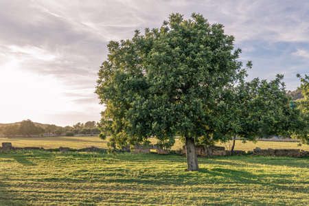 Carob trees in a field on the island of Mallorca at sunset. Balearic Islands, Spain