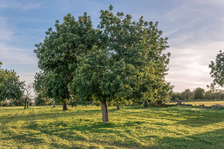 Carob trees in a field on the island of Mallorca at sunset. Balearic Islands, Spain Stok Fotoğraf - 160758815