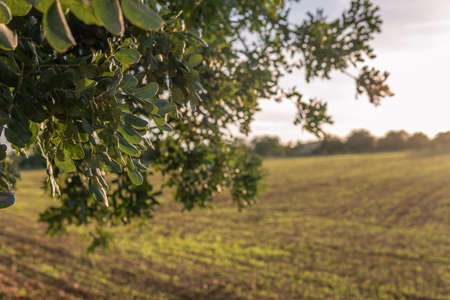 Close-up of carob tree in a field on the island of Mallorca at sunset. Unfocused background. Balearic Islands, Spain Stok Fotoğraf - 160683119