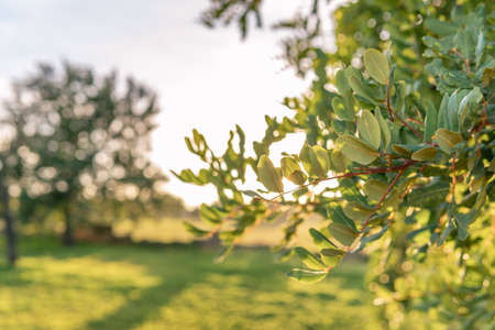 Close-up of carob tree in a field on the island of Mallorca at sunset. Unfocused background. Balearic Islands, Spain