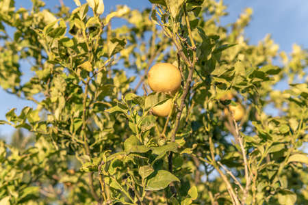 Lemon tree with lemons on a sunny day in the interior of the island of Mallorca, Spain