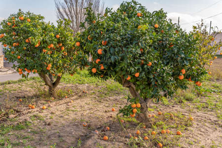 Detail of an orange tree with oranges on its branches on a sunny day. Island of Mallorca, Spain