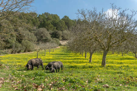 Mallorcan black pigs eating yellow wildflowers in a fig tree on a sunny winter day. Island of Mallorca, Spain