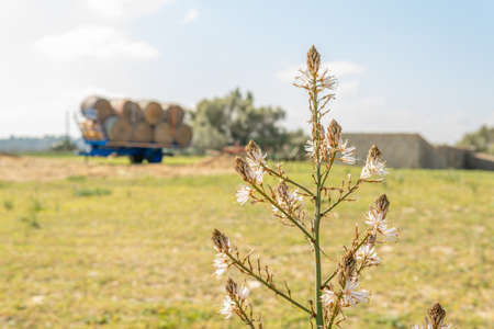 Close-up of a Mediterranean wildflower with white flowers. In the background out of focus, a scene of a rural farm in the interior of the island of Mallorca, Spain