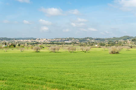 General view of the Mallorca town of Sant Joan on a sunny winter day. In the foreground crops of green shoots and fig trees