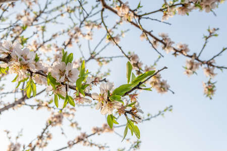Close-up of almond blossoms (Prunus dulcis) on a sunny day. Out-of-focus background