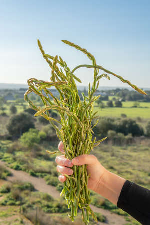 A hand of an adult person with wild green asparagus (Asparagus officinallis) on a green out-of-focus nature background