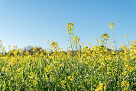 Field of yellow wild flowers called Wild Mustards (Sinapis arvensis). Wild plants from the interior of the island of Mallorca, Spain