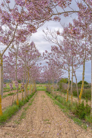 Growing Paulonia Imperial (Paulownia tomentosa) with purple flowers on a cloudy day in the interior of the island of Mallorca, Spain