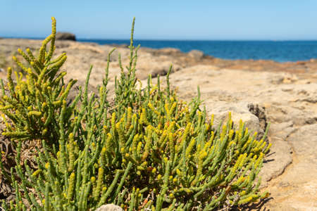 Close-up of the Mediterranean sea fennel plant, Crithmum maritimum, with the Mediterranean Sea out of focus in the background Stock Photo