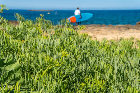 Close-up of the Mediterranean sea fennel plant, Crithmum maritimum, with a person with a surfboard in the Mediterranean Sea out of focus in the background Stock Photo