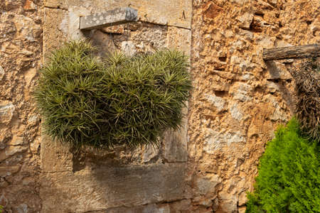 Close-up of the air carnation plant, Tillandsia aeranthos, in a rustic garden on the island of Mallorca, Spain