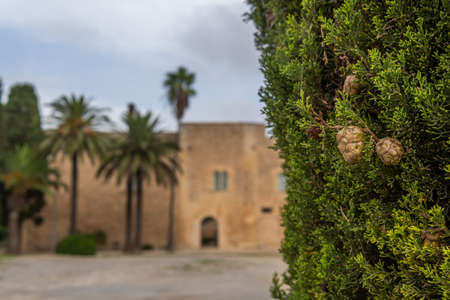 Close-up of a cypress tree and in the background out of focus the main facade of the Manacor History Museum, Torre dels Enagistes, on the island of Mallorca, Spain