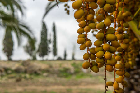 Close-up of dates from a date palm with the background of a cloudy day out of focus