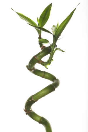 Green bamboo twig in the white background photo