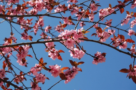 Branches of the sakura with abundant flowers and green leaves at bright sunny illumination