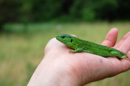 reptillian: The green lizard sitting on the hand close up at daylight