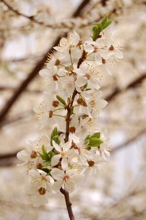 apricot tree: Branch of the Apricot Tree with flowers and leaves close up at cloudy spring midday