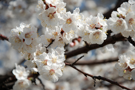 apricot tree: Branch of the Apricot Tree with flowers and leaves close up at sunny spring midday