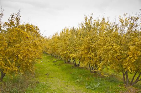 clody: The yellow pomegranate orchard at clody day during the fall