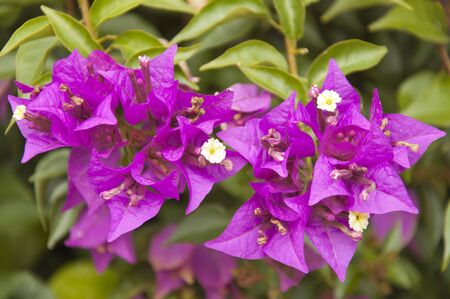 floriculture: The lilac flowers of Bougainvillea close up on the green leaves background