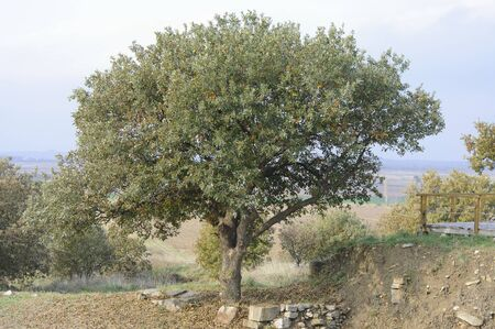 troy: The Oak tree growing on the ruins of ancient city of Troy Stock Photo