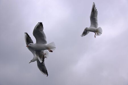 inclement: Group of seagulls flying in the cloudy sky in stormy weather