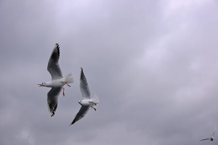 inclement weather: Group of seagulls flying in the cloudy sky in stormy weather
