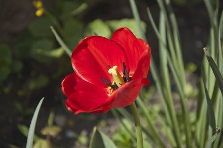 floriculture: The red flower of tulip alone close up on the blurred background Stock Photo
