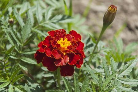The flower of marigold on the flowerbed close up at bright sunny illumination Фото со стока